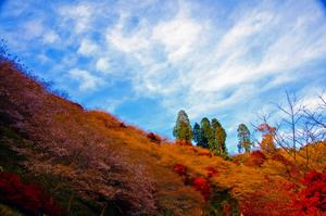 四季桜祭り 005.jpg