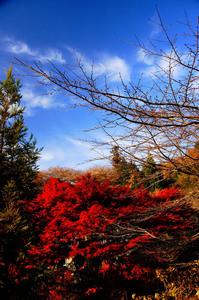 四季桜祭り 006.jpg
